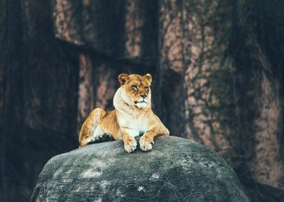 Lion on Rock