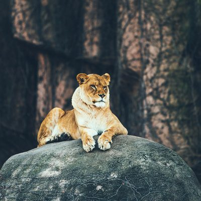 Lion on Rock