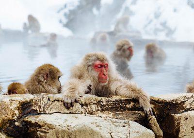 Monkeys in Water