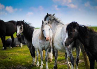 Wild Stallion Horses