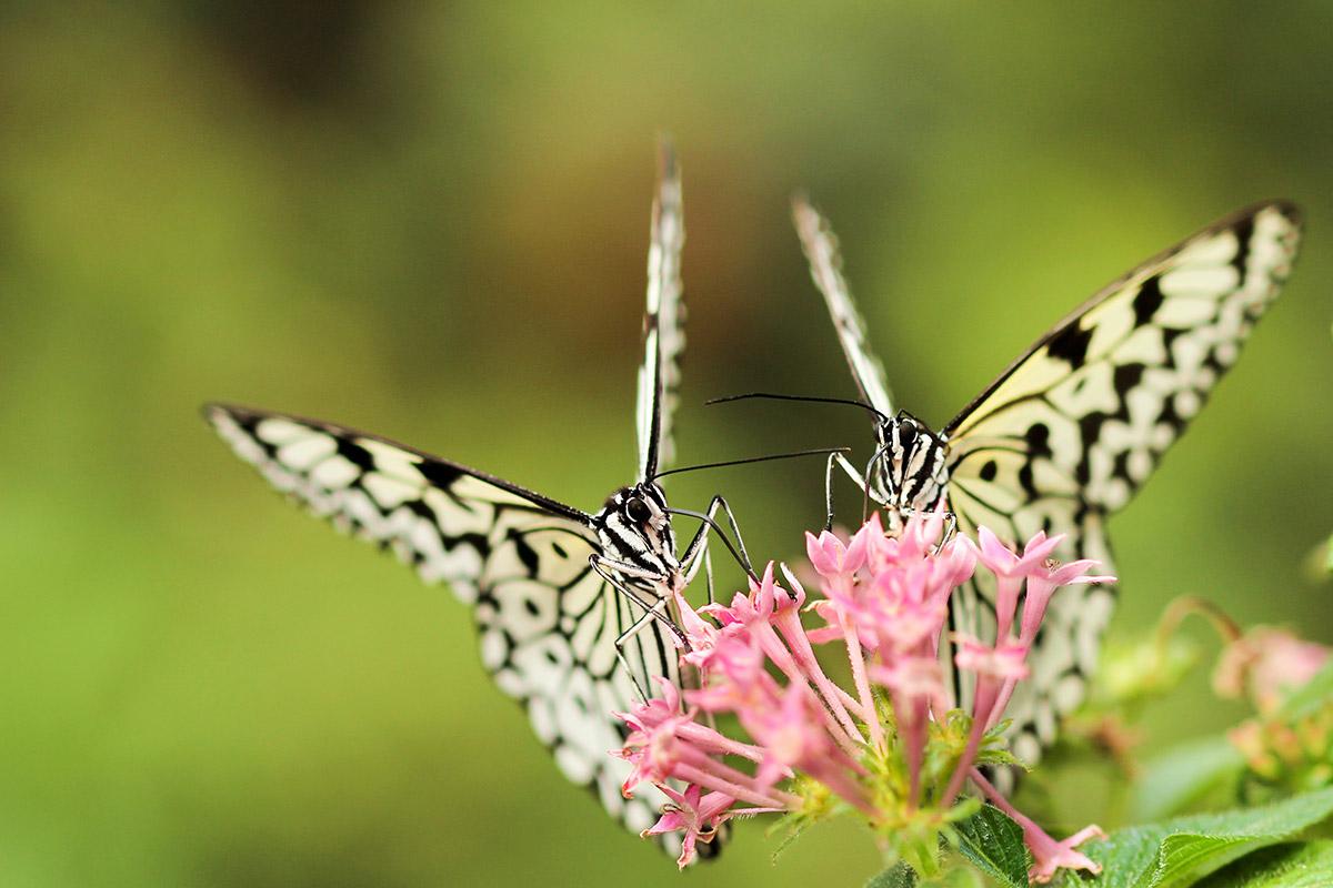 Two Butterflies, One Flower